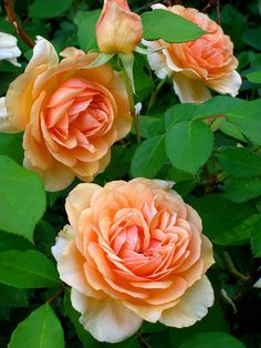 ~Pegasus-David Austin English rose blooms with an ivory edge and apricot centers, sweet rose and fruit fragrance