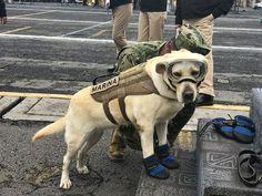 Frida, a Labradora, desempenha um papel fundamental no salvamento de vítimas de terremoto. O valente cão está trabalhando na procura por sobreviventes.