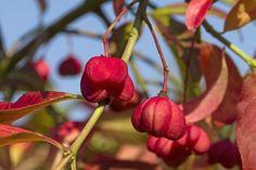 Zázrak proti celulitidě roste nejspíš i na vaší zahrádce   Naše zahrada Plumbago, Fruit, Gardens, Europe, Beautiful Flowers