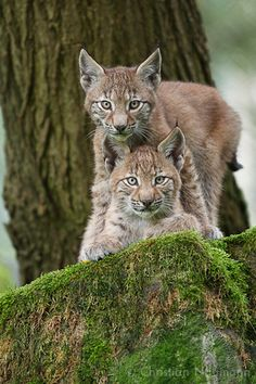 two young Lynx looking in my camera (Lynx lynx) |