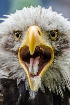Eagle tongue Photo by Tommaso Maiocchi -- National Geographic Your Shot
