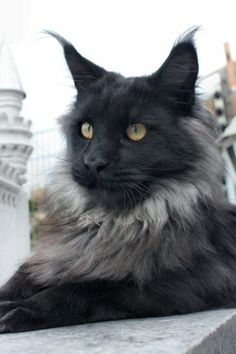 black smoke maine coon Car Tuning