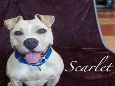 HELLO! I'm SCARLRT! Please watch my video ans read my story...share my picture! I am a really cool gal waiting for love & TLC!!!! I am at WPHS Pttsburgh, Pa...LOVE SCARLETT XOXOXO PetHarbor.com: Animal Shelter adopt a pet; dogs, cats, puppies, kittens! Humane Society, SPCA. Lost & Found.