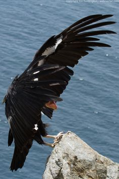 Images of California condors, whales, dolphins and Big Sur vistas Images Of California, California Condor, Birds Of Prey, Big Sur, Dolphins, Bald Eagle, Landing, Whale, Drawings