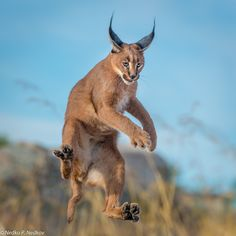 """The caracal is a medium sized cat which it spread in West Asia, South Asia, and Africa. The word Caracal is from Turkey """"Karakulak"""" which means """"Black Ears"""". Here is all about caracal as a pet. Animals And Pets, Funny Animals, Cute Animals, Big Cats, Cool Cats, Beautiful Cats, Animals Beautiful, Caracal Kittens, Gato Grande"""