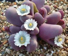 South Africa succulent