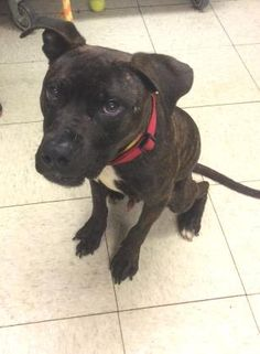 Petango.com – Meet Fennec 73, a 1 year Terrier, Pit Bull / Mix available for adoption in CLEVELAND, OH