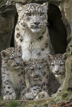 Snow Leopard family ~ Irina and her cubs by Jason Brown