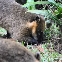 South American Coati! Quati! #coati #quatis #intothewild #wildlife #nature #naturelovers #natureza #savetheanimals #savetheplanet #saveourplanet #salveoplaneta #protect #preserve #respect #awareness #hope #sustainability #sustentabilidade #sustainablefuture #futurosustentavel #love #amor by sustainablefuture http://ift.tt/1RoBUGc
