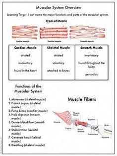 Muscular System Independent Study Set weightloss k Muscular System Anatomy, Associates Degree In Nursing, Nursing School Prerequisites, Accelerated Nursing Programs, Online Nursing Schools, Lpn Schools, Musculoskeletal System, Learning Targets, Nursing Career