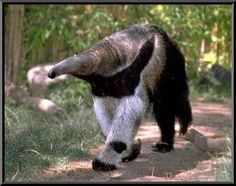 Anteater is the common name given for the four mammal species that belong to the vermalingua suborder. Vermalingua means tongue and these mammals feed on ants Amazon Rainforest Animals, Amazon Animals, Animal Spirit Guides, Spirit Animal, Wyoming, Giant Anteater, Funny Animals, Cute Animals, Work With Animals