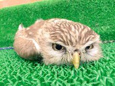 なにこの癒し…!超絶かわいいフクロウの寝姿が話題に - IRORIO(イロリオ)