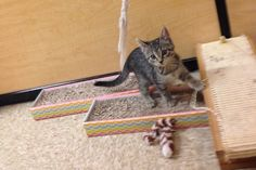 Gwen is a 10 week old girl available for adoption at the Maple Grove PetSmart.  She was part of a litter of kittens that joined us from the White Earth Reservation. She is a very playful, sweet kitten.
