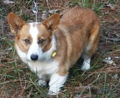 Gabby is an adoptable Welsh Corgi Dog in Edisto Island, SC. Gabby is a courtesy posting for the Greater Atlanta Pembroke Welsh Corgi League. PLEASE complete an application on our Home page at the bott...