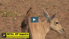 The Cape eland only occurs in South Africa and in the adjacent regions in Mozambique, Namibia and southern Botswana. Read more! Wilderness, South Africa, Cape, Southern, Wildlife, Tv, Animals, Mantle, Cabo