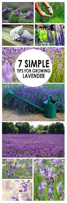 7 Simple Tips for Growing Lavender Harvesting Timing of the harvest depends on what you are using the lavender for. For fresh-market or or dried bundles harvest when the first 1 or 2 flowers have bloomed. If the end product is essential oil then the bes Container Gardening, Garden Landscaping, Plants, Planting Flowers, Lavender, Growing Plants, Flower Garden, Outdoor Gardens, Growing Lavender