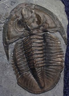 Dechenella witherspooni (Stumm, 1968) Devonian Alpena Formation Alpena, Michigan, U.S.A. 3.5 cm