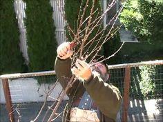 Great tutorial - prune peach tree Fruit Garden, Garden Trees, Edible Garden, Trees To Plant, Vegetable Garden, Garden Plants, Pruning Peach Trees, Tree Pruning, Organic Gardening
