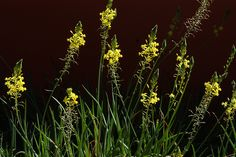 Shrubby Bulbine-Bulbine frutescens Desert Botanical Garden, Orange Flowers, How To Look Better, Yard, Deco, Plants, House, Patio, Deko