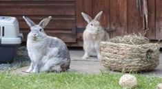 Two rabbits in outside enclosure with enrichment items © RSPCA Photolibrary