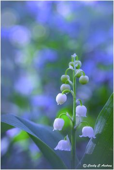~~Lily of the Valley by ~CecilyAndreuArtwork~~