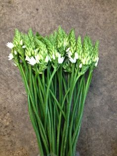 Ornithogalum 'Mount Fuji'...Sold in bunches of 10 stems from the Flowermonger the wholesale floral home delivery service.