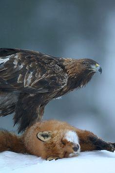 Eagle and fox