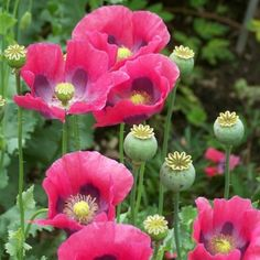 A classic garden favorite, the Helen Elizabeth Papaver never fails to astound with blushing salmon-pink petals and a delicate appearance. These papavers bloom in the Summer and are even deer resistant! Exotic Flowers, Beautiful Flowers, Purple Flowers, Poppy Flower Seeds, Cactus Flower, Arrangements Ikebana, Growing Poppies, Seed Pods, Flower Photos