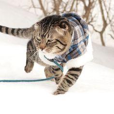 #新しい洋服 getしました⋆* #似合うかな ( ˙³˙ )ンー… って安定に#ダイソー のですww さくらは動きが激しいので すぐダメになっちゃうので #100均 #大活躍 です(∩´͈ ᐜ `͈∩) このシリーズ の#洋服 好きなのですが この色は#mサイズ しかなくて 普段#Lサイズ のさくらは 少し動きづらそうww 他にも後日撮影します📷✨ #猫 #ねこ #愛猫 #cat #にゃんこ #にゃんすたぐらむ #にゃんだふるらいふ #にゃんだふる #Kissx8i #カメラ部 #camera  #カメラ女子 #写真  #フィルター越しの私の世界 #love #smile #happy #lovelife❤️ #好き #大好き