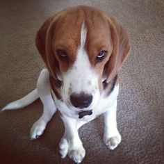 The look my dog gives me when I'm late for his walk #impatient beagle