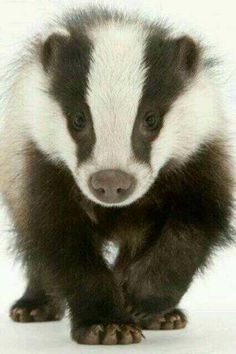 Badger Follow my board http://www.pinterest.com/vipinjoc/wildlife-tourisms-save-wildlife