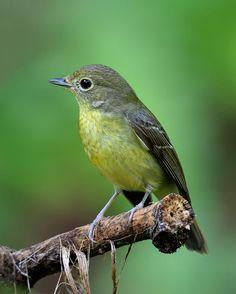 Green-backed Flycatcher (Ficedula elisae) | by Zakir Hassan