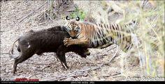 946750d1340609554t-crouching-tiger-unaware-prey-hunt-kill-tatr-awesome-incredible-amazing-img_5112_1.jpg (802×414)