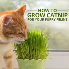 Ditch the dried stuff - grow fresh catnip for your furry friend! #PetDIY #Cats