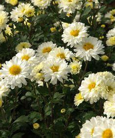 Chrysanthemum Indicum-Hybride 'Poesie' - Herbst-Chrysantheme