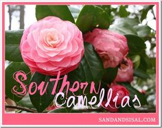 Want blooms from Sept-April? A gorgeous collection of 11 camellias & how to grow them!