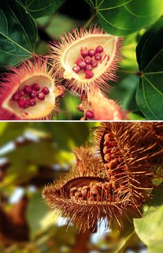 You can count on finding the Urucu plant (Bixa orellana) around every rural household in the Amazon. Achiote (Bixa orellana) is a shrub or small tree from the tropical region of the Americas. It is cultivated there and in Southeast Asia, where it was introduced by the Spanish in the 17th century. It is best known as the source of the natural pigment annatto, produced from the fruit.