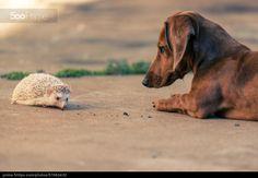 .favorite friends = a dachshund & a hedgehog!.