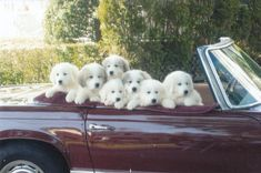 A vehicle full of Great Pyrenees puppies - now THAT is my dream car! Pyrenees Puppies, Great Pyrenees Puppy, Big Dogs, I Love Dogs, Cute Puppies, Dogs And Puppies, Doggies, Therapy Dogs, White Dogs
