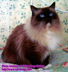 Ragdoll cat. They are supposedly sociable but soooo much fur!