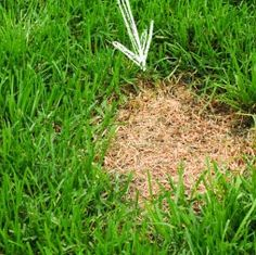 So you want to know how to repair lawn patches so your yard can be lush & green … – low maintenance front yard ideas diy Reseeding Lawn, Growing Ginger Indoors, Growing Grass, Lawn Repair, Lawn Care Tips, Pergola Pictures, Lawn Sprinklers, Yard Care, Lawn Maintenance