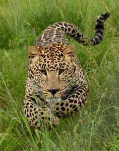 Young leopard before attack - Photo taken at Rhino and Lion Park, Gauteng, South Africa by Rute Martins of Leoa's Photography - Pixdaus