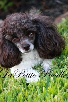 Fun with our poodle puppies at La Petite in Texas