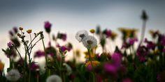 """Verlust von Wiesen und Weiden: Überhaupt nicht im grünen Bereich - taz.de """"Bunte Blumenwiesen weichen zunehmend monotonem, artenarmem Einheitsgrün, das bis zu fünf oder sogar sechs Mal im Jahr gemäht wird."""" Nun fordert das Bundesamt für Naturschutz in Deutschland, den Umbruch solcher Flächen zu verbieten. Dies wäre sicher auch in der Schweiz vorteilhaft, da hier leider die selbe Entwicklung zu beobachten ist … Dandelion, Flowers, Plants, Wicker, Agriculture, Nature, Dandelions, Florals, Planters"""