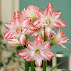 Amaryllis bulbs make terrific holiday gifts. Start them about a month ahead of time to gift them in full bloom. Blossom Peacock Amaryllis (Hippeastrum), via American Meadows