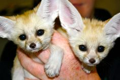 Two Fennec Fox sisters were born at Chattanooga Zoo in Tennessee! They have just been named Zahari, meaning blue in Arabic, and Zeiti, meaning green in Arabic. (To tell the sisters apart, they were each given a small spot of. Baby Zoo Animals, Newborn Animals, Cute Animals, Baby Foxes, Wild Animals, Fennec Fox Baby, Chattanooga Zoo, Animal Pictures, Cute Pictures