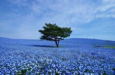 The sweeping fields of baby blue eyes at Hitachi Seaside Park in Japan.