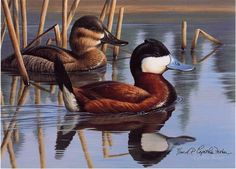 """2001 CO Duck Stamp""ruddy ducks6.5 x 9"" -Ducks, Geese and Water Birds"