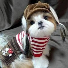 Cute Dogs and Cats: Top 5 Best Dog Breeds for indoor pets Perro Shih Tzu, Shih Tzu Puppy, Shih Tzus, Animals And Pets, Baby Animals, Funny Animals, Cute Animals, Cute Puppies, Cute Dogs