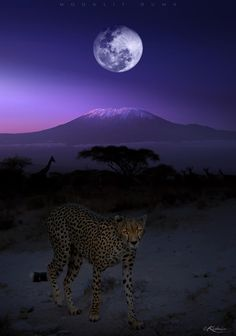 """Moonlit Duma"" ~ wildlife photography. It's a post-edited photograph. 1) The moon taken in Nairobi, (2) Mt. Kilimanjaro at daybreak taken in Amboseli, and with (3) The cheetah and the foreground taken in Buffalo Springs, Kenya. ]"